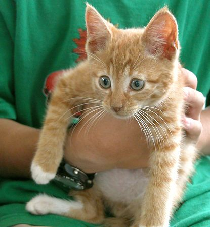Orange Tabby with White Belly, Eye Rings and Paws-Male- Approx 6-8 weeks old    #OWT-M-13-06-04-004<br /> Playful, likes to be held, but ready to go.<br /> PLACED- Sunday 27 June 2004<br /> Named: