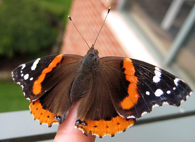 Red Admiral Butterfly, Ocean County Justice Complex Skywalk - 07/20/07