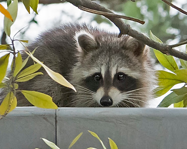 Racoon Hiding
