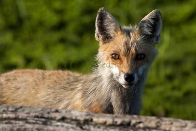 Red Fox 097963