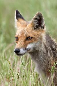 Red Fox 098663