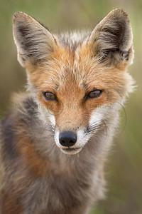 Red Fox 098583