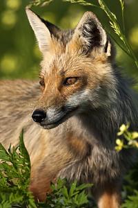 Red Fox 097935