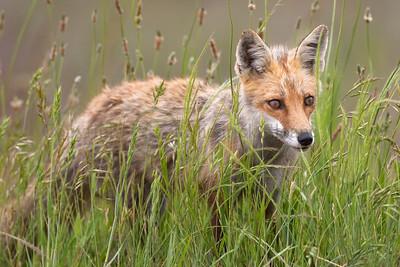 Red Fox 098722