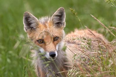 Red Fox 098742