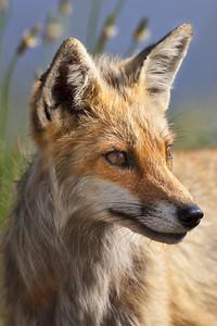 Red Fox 097752