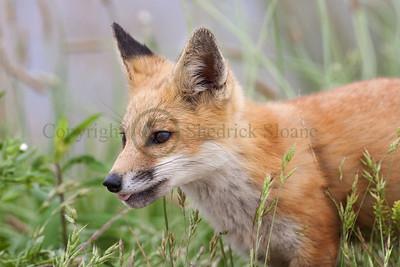 Red Fox 098780