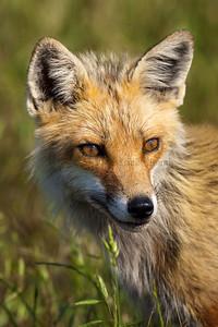 Red Fox 097814