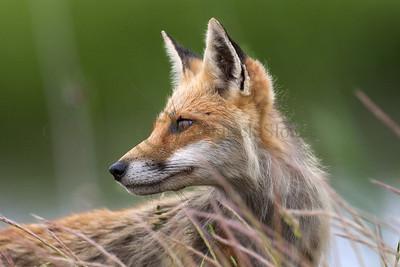 Red Fox 098653