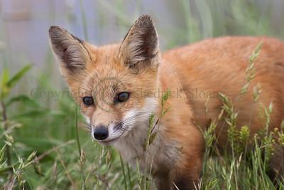 Red Fox 098779