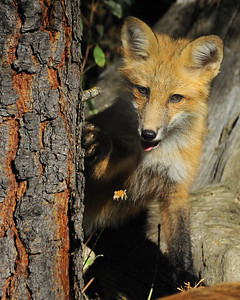 Little Joey, a Red Fox is 3 months old