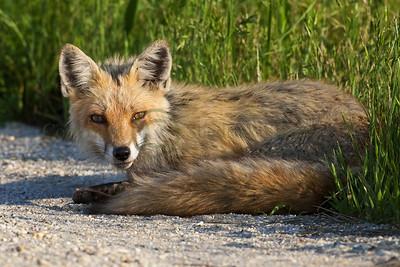 Red Fox 097924