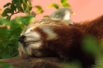 A sleepy Red Panda