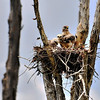 Red shouldered Hawk with chicks