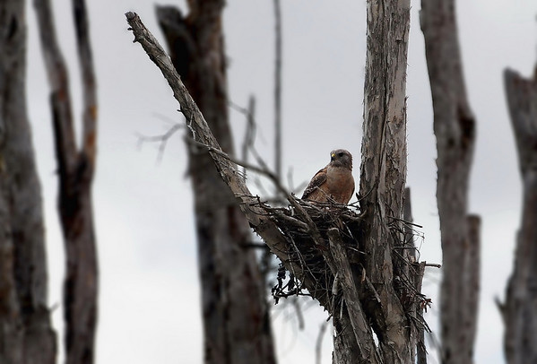 Red Shouldered Hawk Family