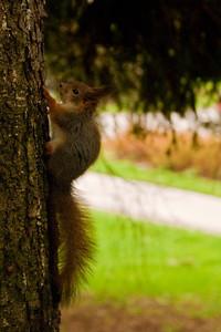 Baby Red Squirrel - Pikku orava - Sciurus vulgaris