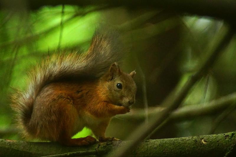 Red Squirrel - Orava - Sciurus vulgaris