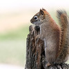 4-19-14 Red Squirrel 2