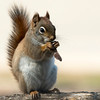 4-20-14 Red Squirrel 1