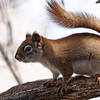 4-19-14 Red Squirrel 1