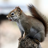 4-19-14 Red Squirrel 4