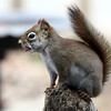4-19-14 Red Squirrel 3