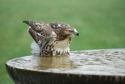 Red Tailed Hawk Bath