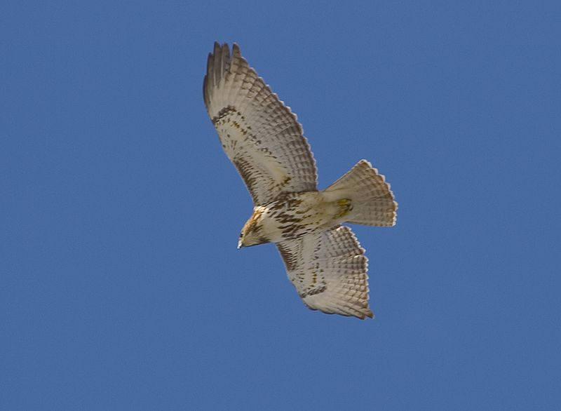 "The Red-tail is the most common and widespread American member of the genus Buteo, which also includes the Red-shouldered, Swainson's, and Gray hawks, among others. Like other hawks of this group, it soars over open country in search of its prey but just as often perches in a tree at the edge of a meadow, watching for the slightest movement in the grass below. The Red-tail rarely takes poultry, feeding mainly on small rodents. Certain western birds with grayish, faintly streaked or mottled tails were formerly considered a separate species called ""Harlan's Hawk."""