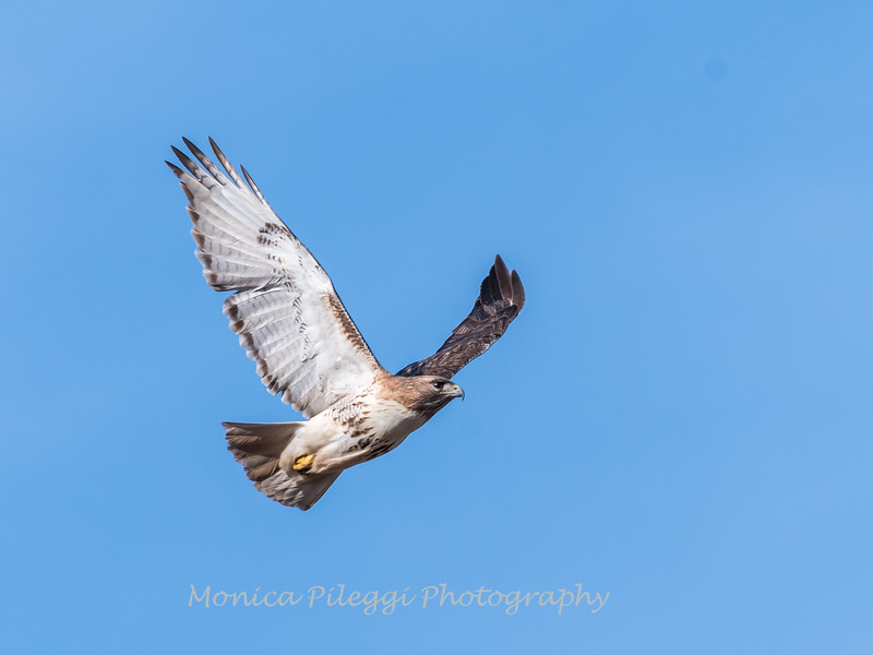 Red-tailed hawk 20 Feb 2018-3722