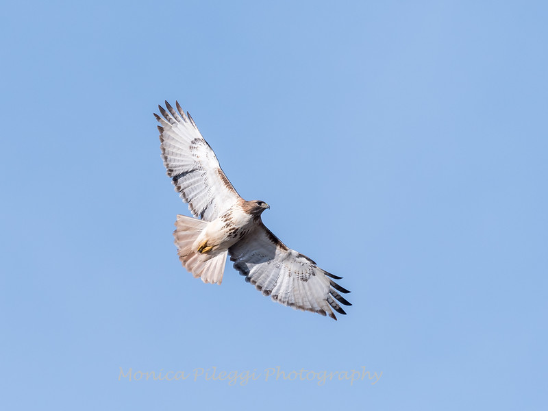 Red-tailed hawk 20 Feb 2018-3729