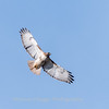 Red-tailed hawk 20 Feb 2018-3728