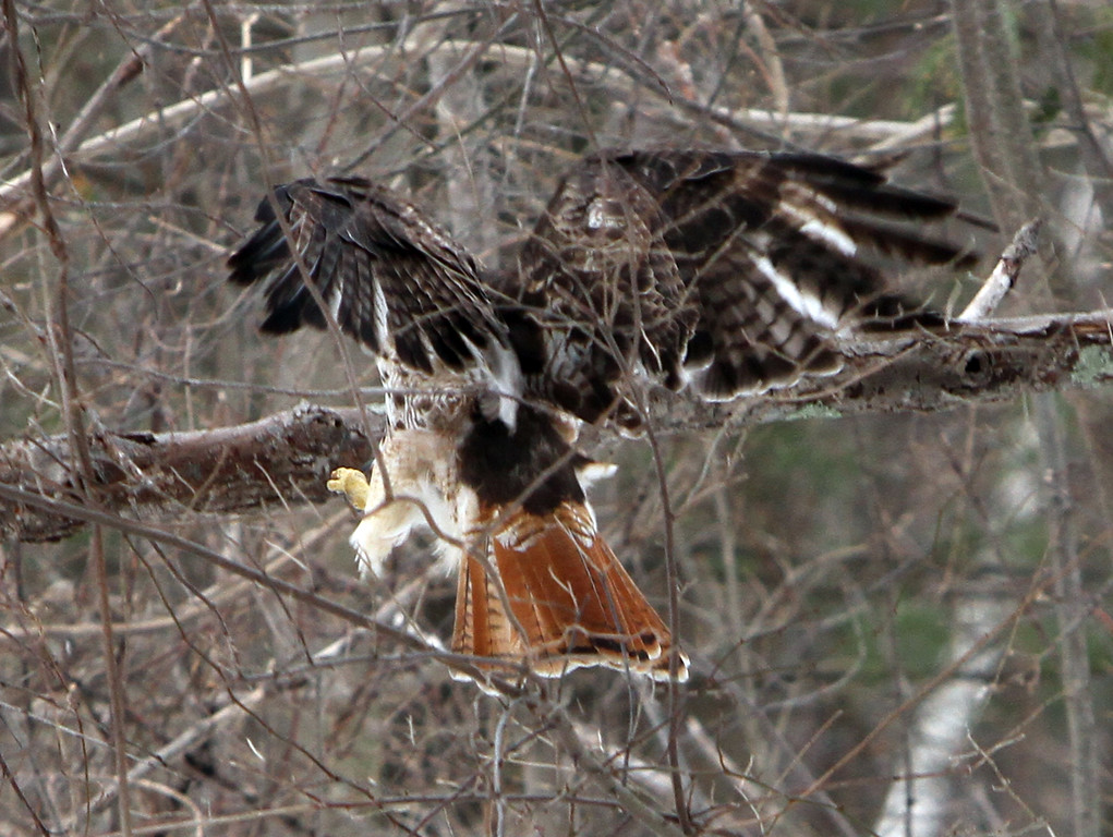 . One of a pair of red-tailed hawks at Chelmsford Veterans Memorial Park lands on a branch. (SUN Julia Malakie)