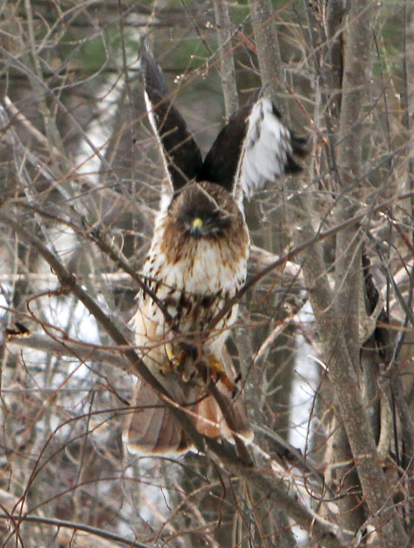 . One of a pair of red-tailed hawks at Chelmsford Veterans Memorial Park. (SUN Julia Malakie)
