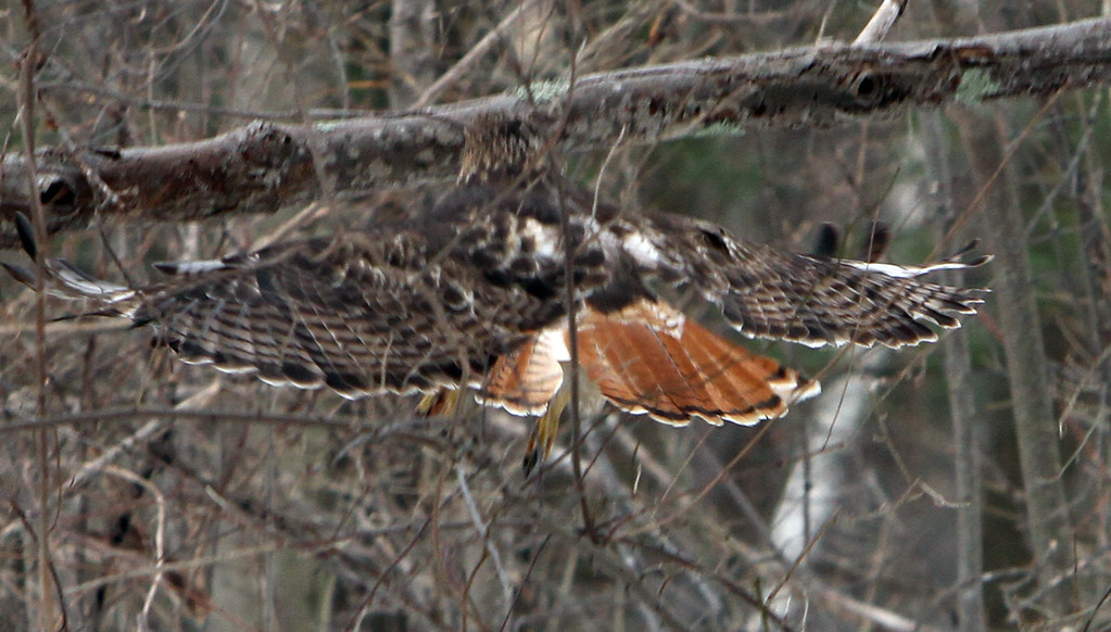 . One of a pair of red-tailed hawks at Chelmsford Veterans Memorial Park, on a short flight between perches. (SUN Julia Malakie)
