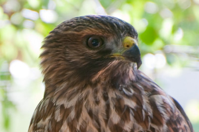 Piercing eyes of a young Red Tail Hawk. Photo was taken in Portola Valley on our regular Saturday walk.
