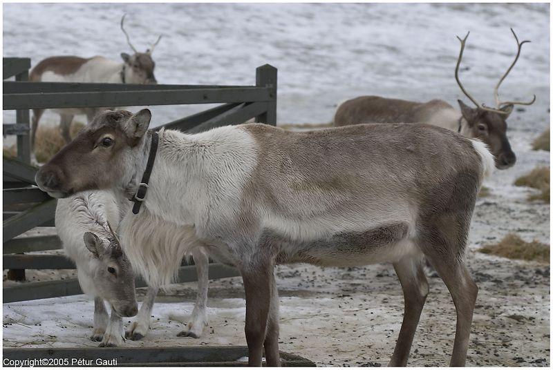 Reindeer in Húsdýragarðurinn in Reykjavík (#3559)