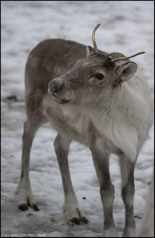 Reindeer in Húsdýragarðurinn in Reykjavík (#3542)