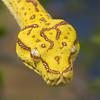 Green Tree Python (Yellow Phase)