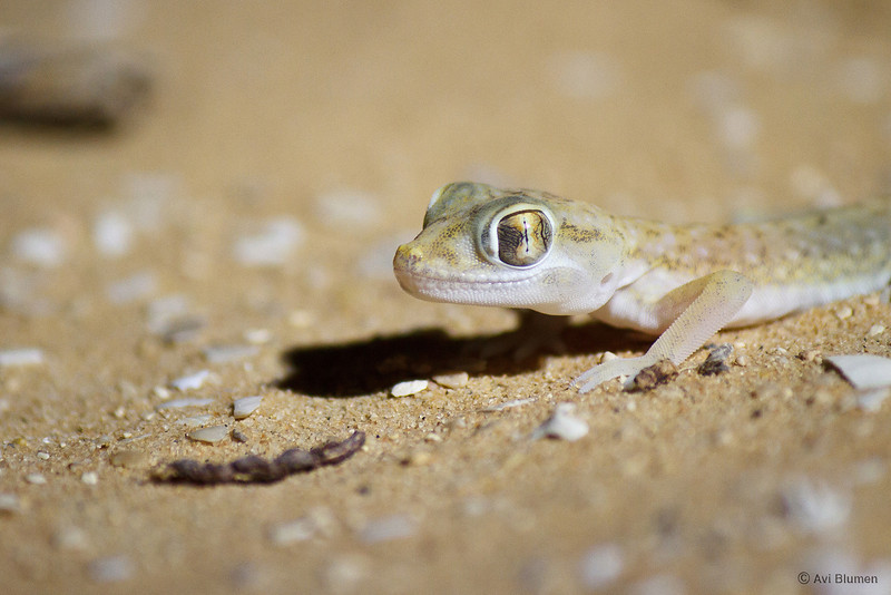 Petrii Dune-gecko ישימונית רביבים
