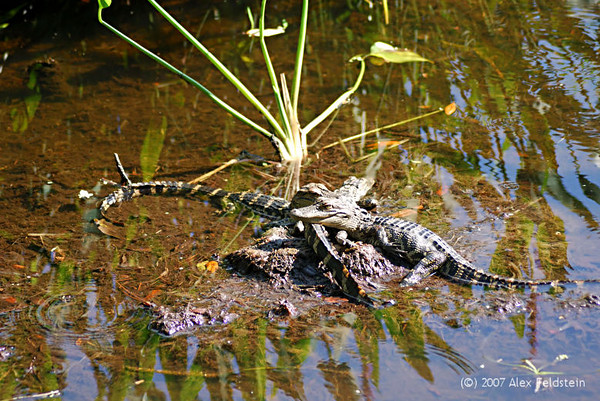 Baby alligator - Wakodahatchee Wetlands