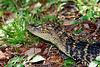 Baby alligator - Wakodahatchee Wetlands