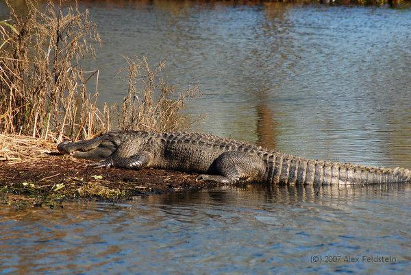 American Alligator - Wakodahatchee Wetlands