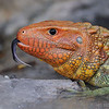 Amazon Caiman Lizard<br /> Miami Metrozoo