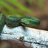 Black & Green Speckled Palm Pit Viper<br /> Miami Metrozoo
