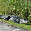 Alligator in Everglades National Park