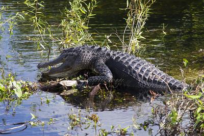 Sun-bathing gator