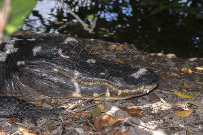 Gator resting in the shade