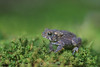 American toad on moss (this guy was smaller than a penny)