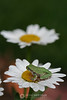 Tree frog on daisy
