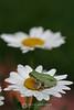Tree frog on daisy
